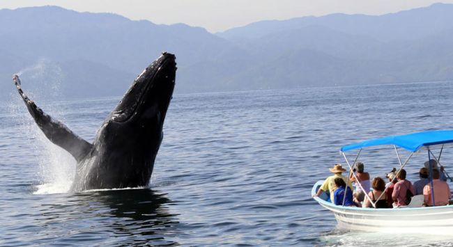 Playas de Juanchaco se llenan de alegría con la llegada de las ballenas jorobadas | Noticias de Buenaventura, Colombia y el Mundo