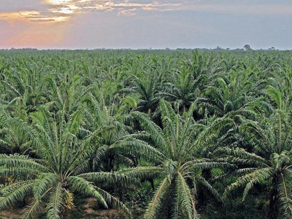 Productores de aceite de palma denuncian campaña de desprestigio