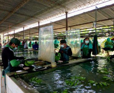 Aplicarán nuevas tecnología para mejorar la competitividad del banano orgánico