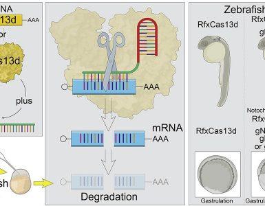 Emplean la tecnología CRISPR-Cas para estudiar el papel del ARN en las primeras horas de desarrollo