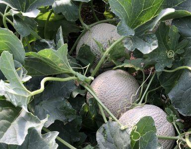 Melones andaluces con tecnología punta
