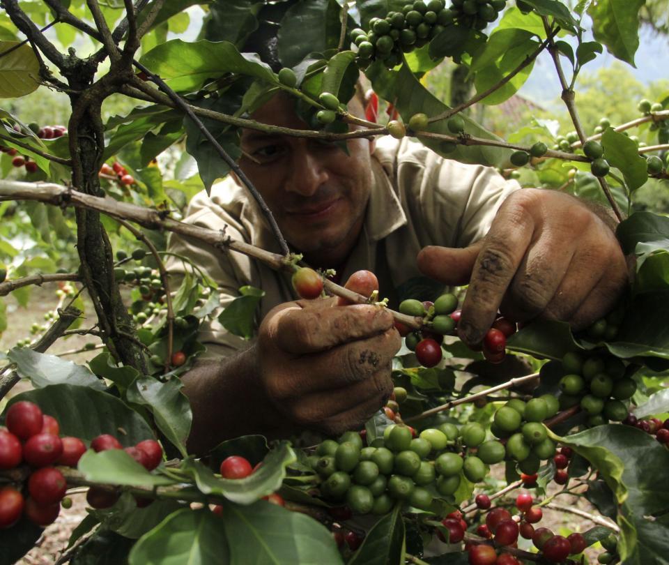 Valle necesita 14.000 recolectores pero deben cumplir bioseguridad - Cali - Colombia