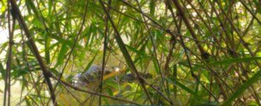Encuentran muerta la babilla del lago de Ciudad Jardín - Cali - Colombia