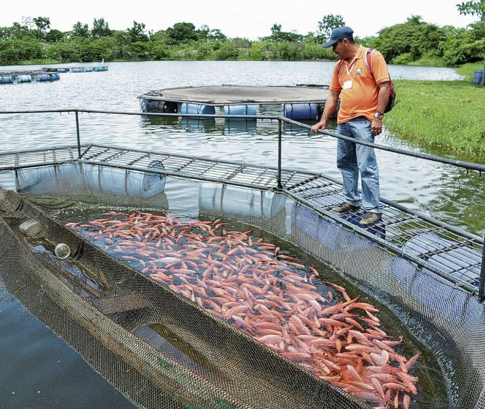 Exportaciones de tilapia a EE. UU.: Colombia multiplica sus peces   Economía