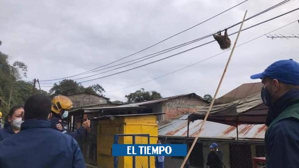 Oso perezoso, en riesgo de electrocución y atrapado en red de luz - Cali - Colombia