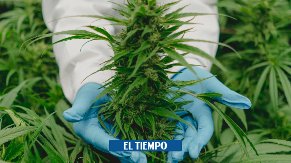 Cannabis medicinal en Colombia efectos de que ONU lo sacó de lista de drogas peligrosas - Servicios - Justicia
