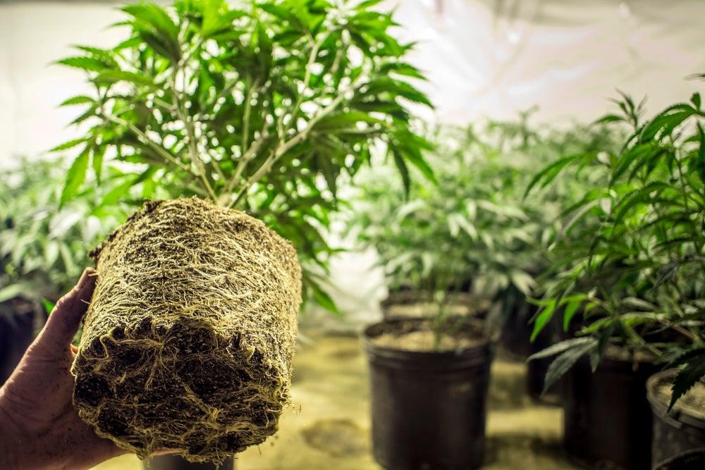 Cómo invertir en acciones de cannabis