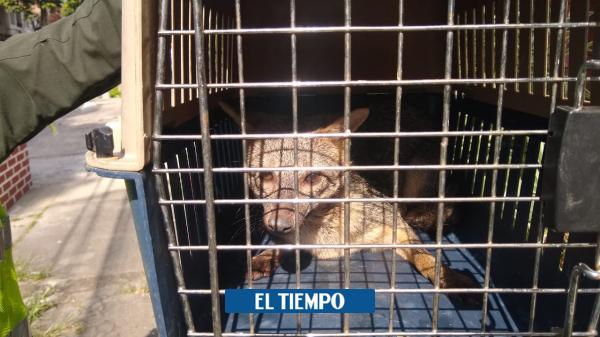 Policía rescató a un zorro en un barrio de Cali - Cali - Colombia