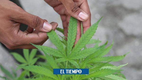 Ropa elaborada con cannabis entra al mercado en Colombia - Empresas - Economía