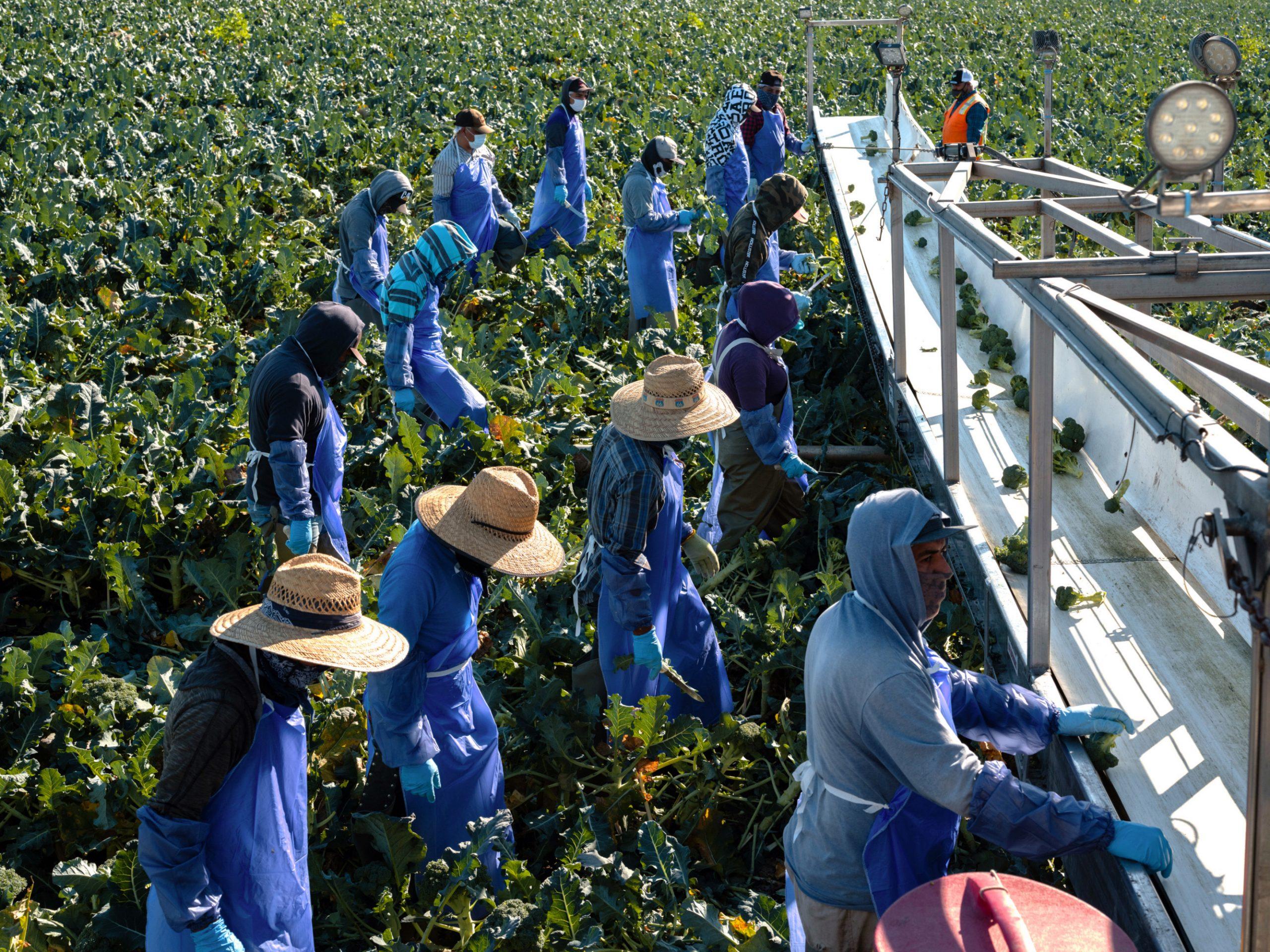 trabajadores cosechan brócoli