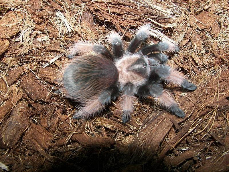 Araña de patas rojas
