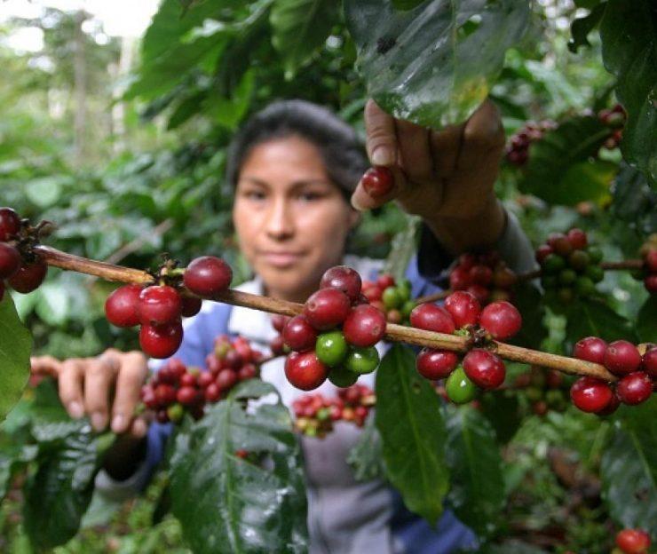 El café colombiano: precios y cosechas de un producto sobreviviente de la pandemia   Economía