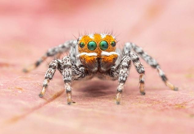 Una nueva especie de araña pavo real, Maratus nemo, se describe en las cercanías del monte McIntyre y Nangwarry, Australia del Sur (el macho se muestra aquí)