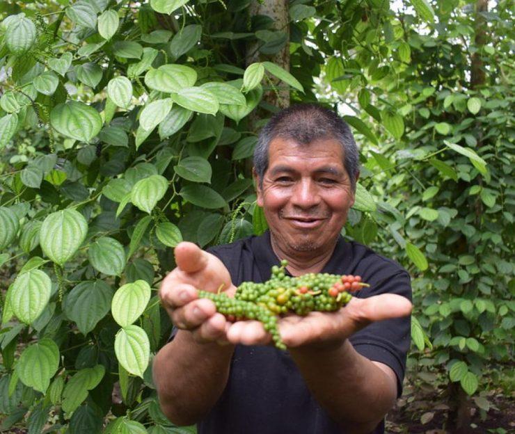 Cultivos ilícitos: Cacao y pimienta contra la coca en el suroccidente - Cali - Colombia