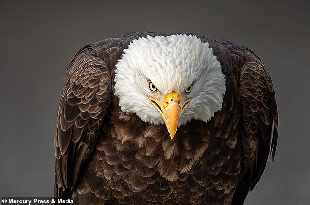 Hay más de 316.000 águilas calvas en los Estados Unidos continentales, según un nuevo informe del Servicio de Pesca y Vida Silvestre.  Eso es más de cuatro veces el número informado en 2009