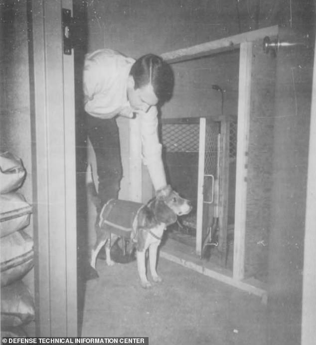 Los documentos de los experimentos con perros 'controlados a distancia' de la CIA en la década de 1960 fueron desclasificados en 2018, pero recientemente han surgido imágenes de los caninos equipados con electrodos.  Las fotos en blanco y negro muestran beagles atados con un receptor-estimulador en la espalda y un casco protector.