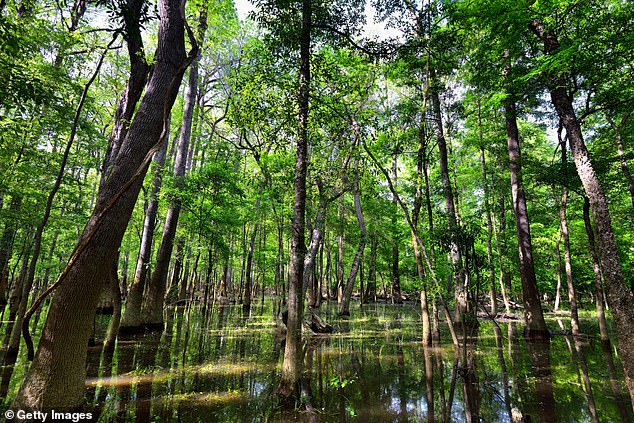 En la imagen, el Parque Nacional Congaree de Carolina del Sur.  Una nueva investigación realizada por un equipo de científicos en América del Norte muestra que los sonidos naturales son buenos para nuestra salud
