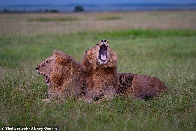 Los leones pueden provocar los bostezos de los demás, al igual que los humanos.  Pero aunque se cree que el 'bostezo contagioso' en los humanos es un signo de empatía, los expertos dicen que para los leones es una forma de sincronizar comportamientos y ser un orgullo más cohesivo.