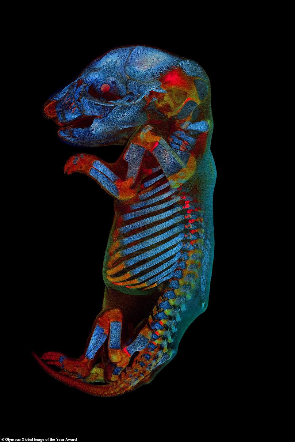Un feto de rata con ojos rojos y diabólicos y tejido brillante ha sido nombrado ganador de la segunda imagen mundial del año en microscopía óptica de ciencias biológicas.  El científico Werner Zuschratter capturó el embrión en su día 21 de desarrollo utilizando un microscopio que toma imágenes a través de un pequeño orificio para resaltar los contrastes y aumentar la claridad.