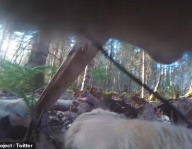 Voyageurs Wolf Project colocó un collar a un lobo solitario, lo que les permitió viajar por el bosque con el animal mientras se alimentaba de un hueso de venado, se ponía en la hierba y pescaba en un arroyo cercano.