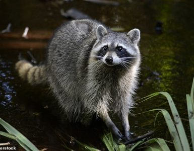 El mapache (Procyon lotor) es originario de América del Norte y es conocido por su distintiva máscara negra alrededor de los ojos con pelaje blanco alrededor de la máscara.