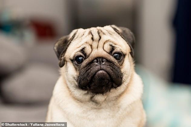 Los perros con hocico corto, como pugs, bulldogs y boxers, son mejores para establecer contacto visual con los humanos que las razas de nariz larga, según un estudio