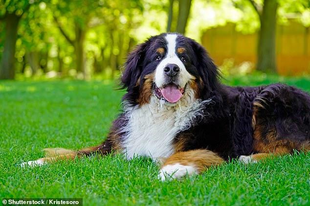 Se han encontrado seis genes en el código de ADN de tres razas de perros más grandes que aumentan el riesgo de que los perros de montaña de Berna, los rottweilers y los golden retrievers desarrollen sarcoma histiocítico (HS), un cáncer de sangre poco común que también afecta a los humanos.