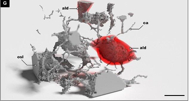Los investigadores descubrieron que las células transformaban los huesos en una especie de batería que almacenaba nutrientes que podrían liberarse posteriormente para proporcionar a los peces el combustible necesario.  En la foto se muestra una imagen en 3D del lugar donde alguna vez vivieron las antiguas células óseas en el pez.