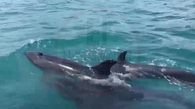 ¡Espectáculo natural! Avistan falsas orcas en Santa Marta