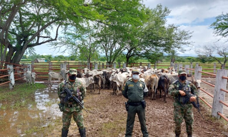 Incautados 94 semovientes bovinos presuntamente de contrabando en Paz de Ariporo