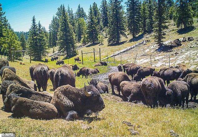 El Servicio de Parques Nacionales está llevando a cabo la primera caza controlada de bisontes dentro del Parque Nacional del Gran Cañón que tiene como objetivo reducir la manada de bisontes de House Rock en más de la mitad.