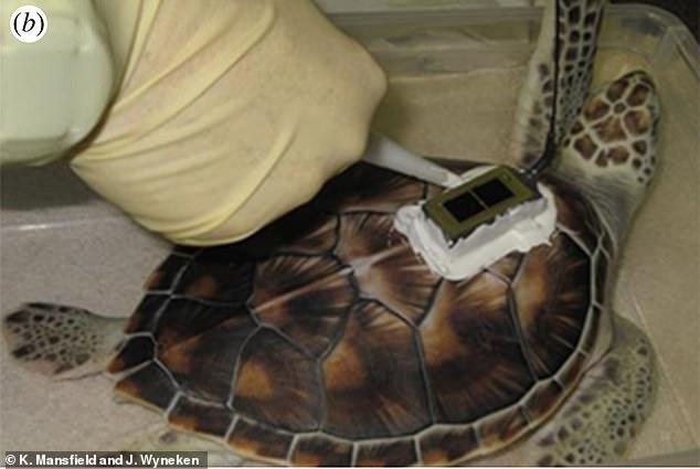 Para averiguar dónde pasaron las tortugas verdes sus 'años perdidos', los investigadores equiparon a 21 tortugas con rastreadores de energía solar.  Los dispositivos no dañaron a las tortugas ni inhibieron su comportamiento, y fueron diseñados para caer después de unos meses.