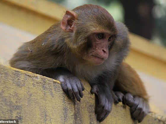 De las 88 especies que fueron evaluadas por los investigadores, cinco mostraron la preferencia de parentesco más fuerte, incluido el macaco rhesus (Macaca mulatta, en la foto)