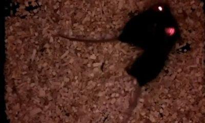 Los ratones son animales extremadamente sociales, pero los investigadores los han programado para formar vínculos sociales instantáneos con un solo rayo de luz implantando en los animales un pequeño implante cerebral.