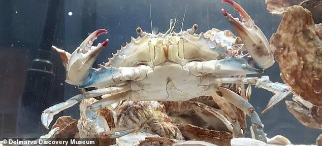 Recientemente se descubrió en Maryland un cangrejo azul con ginandromorfia bilateral, o características tanto masculinas como femeninas.