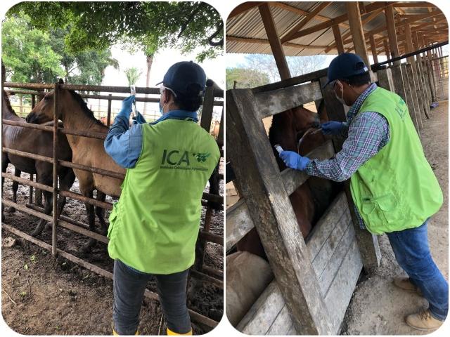 El ICA y productores de Arauca priorizan la sanidad equina del departamento