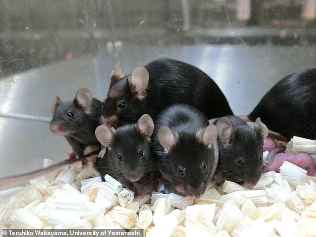 Descubrimiento: un estudio realizado por investigadores en Japón encontró que el esperma de ratón liofilizado seguía siendo viable después de estar en la Estación Espacial Internacional (ISS) durante casi seis años.