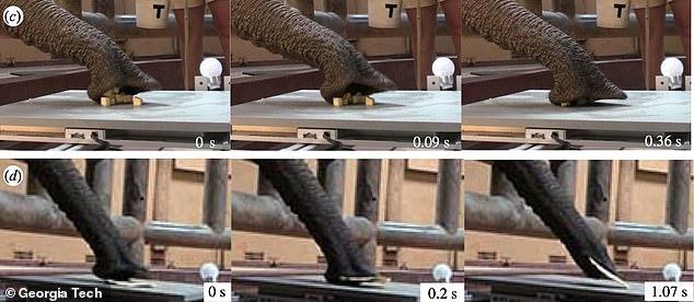 Para averiguar cómo lo hacen y qué implica, los científicos de Georgia Tech filmaron el interior y el exterior de los troncos de paquidermo para probar su capacidad de succión.