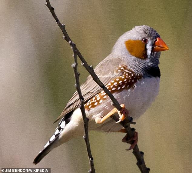 Melodías: los pájaros cantores como el pinzón cebra (en la foto) pueden controlar las fibras musculares vocales individuales, según han descubierto investigadores en Dinamarca, lo que les proporciona un control increíblemente fino de sus melodías.