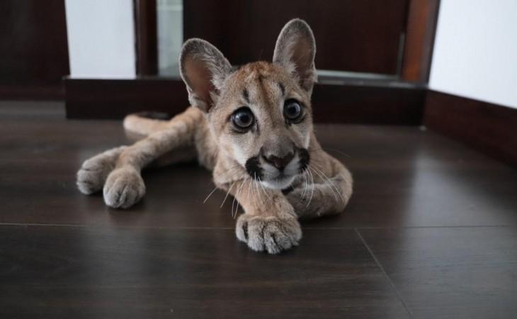Puma llevado desde Tauramena a Bogotá, quedó en manos de Alcaldía del Distrito