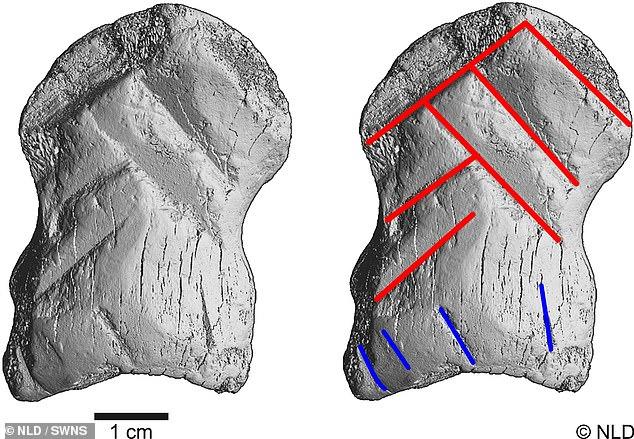 MicroCt-scans del hueso grabado e interpretación de las seis líneas en rojo que dan forma al símbolo de chevron.  Resaltado en azul es un conjunto de líneas sub-paralelas