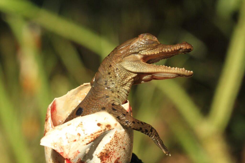 Nacen los primeros caimanes aguja en el centro de fauna de Cerrejón