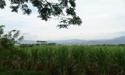 Productores de caña piden garantías para seguir trabajando en el campo