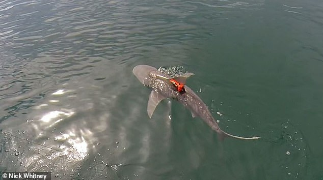 Un tiburón toro equipado con un registrador de datos de aceleración nadando después de su liberación.