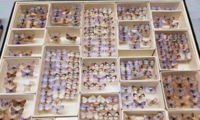 Colección mariposa azul