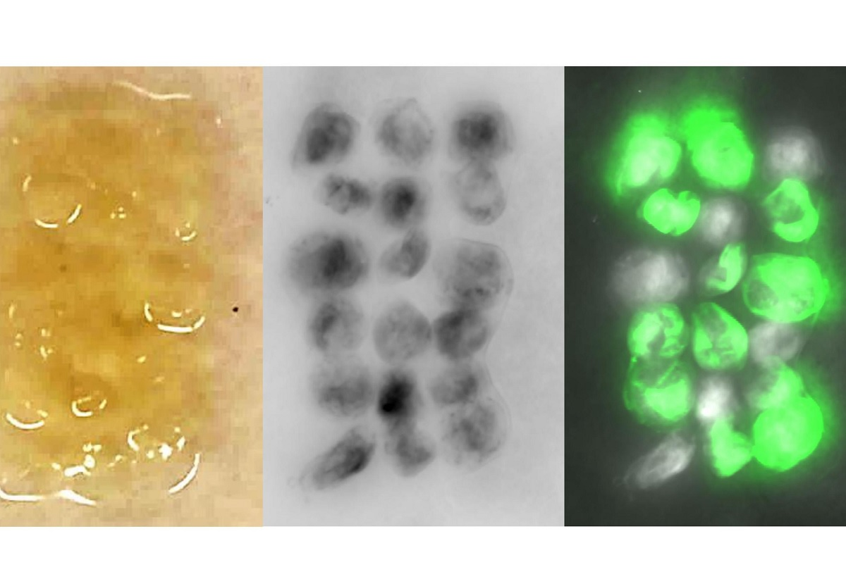 Bacterias modificadas genéticamente para crear material que se cura solo