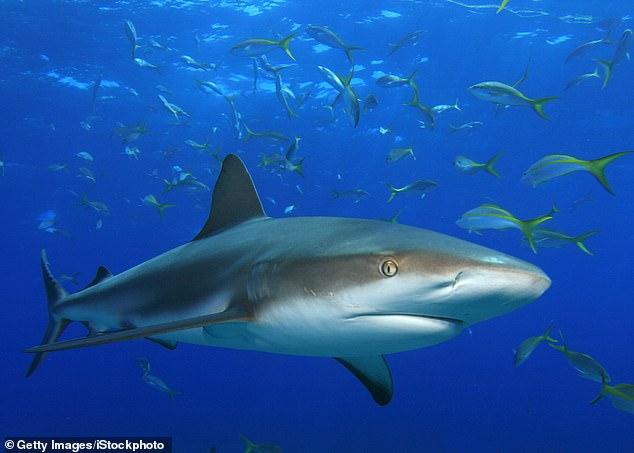 Los tiburones que normalmente nadan en aguas más cálidas han viajado hacia el norte debido al cambio climático, incluido el tiburón punta negra de arrecife (en la foto)
