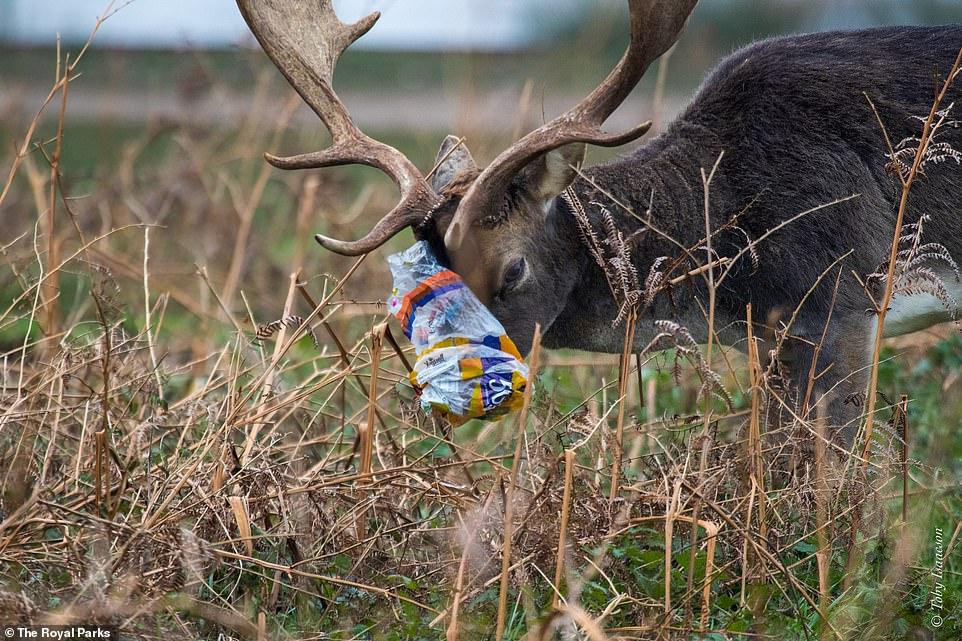 Desgarrador: desde una bolsa de plástico firmemente envuelta alrededor de la boca de un ciervo (en la foto) hasta un erizo enredado en un globo, se han publicado una serie de imágenes impactantes para resaltar los efectos angustiantes de la basura en la vida silvestre en los parques de Londres este año.