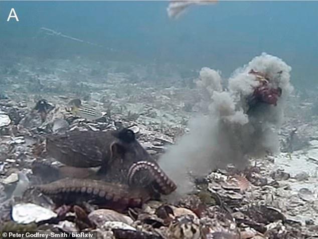 Una hembra de pulpo en Jervis Bay, en Nueva Gales del Sur, dispara un chorro de agua lleno de conchas, algas, limo y otros desechos para ahuyentar a un macho interesado en aparearse con ella.