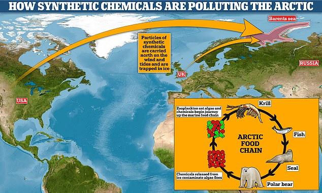 Este gráfico muestra cómo los productos químicos 'para siempre' se liberan de las plantas de fabricación en áreas densamente pobladas y son transportados por el viento antes de acumularse en el hielo del Ártico.  Una vez que el hielo se derrite debido al calentamiento global, los productos químicos se filtran al agua de mar y contaminan las algas, que luego son devoradas por el zooplancton y ascienden por la cadena alimentaria hasta las focas y los osos polares.
